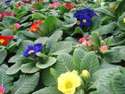 Viveros a m floristerias for Todas las plantas ornamentales
