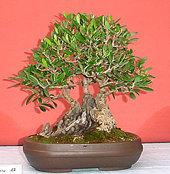 bonsa1.jpg