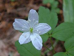 Anemone_quinquefolia.jpg