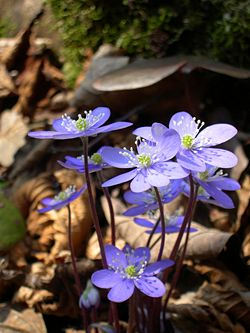 anemone_Hepatica.jpg