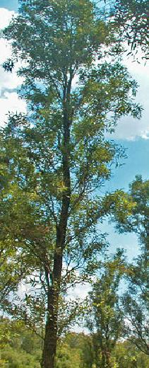 Salix_bonplandiana.JPG