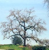 Arboles de hoja caduca floristerias for Arboles de hoja perenne de jardin