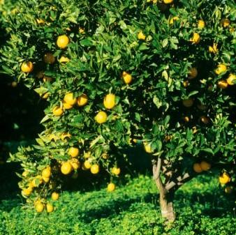 Naranjo floristerias for Arboles plantas y flores